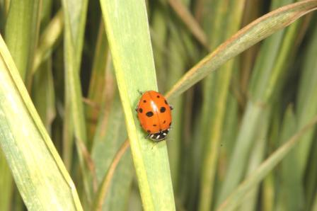 convergent-lady-beetle-on-wheat-leaf-